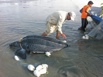 Leatherback turtle spotted for the first time at Gwadar